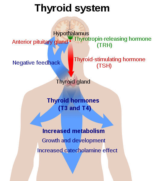 517px-Thyroid_system.svg.png