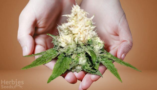 albino-weed-and-white-color-of-a-cannabis2__54mmLLWdT8q6OpmQ.jpg