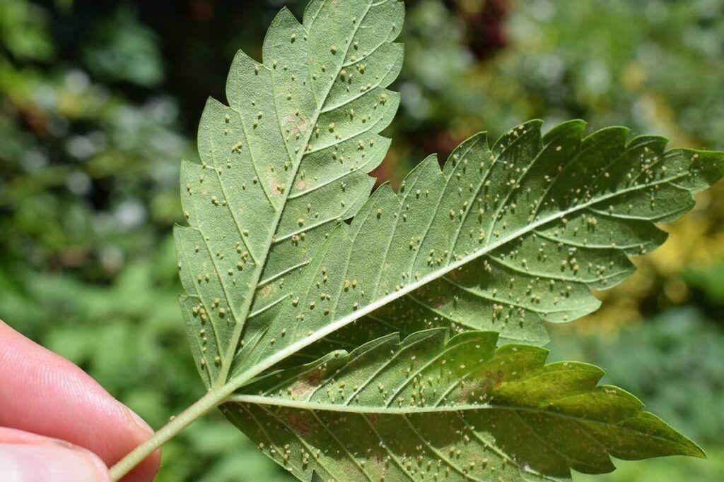 Cannabis-Pest-Aphids-1024x683.jpg