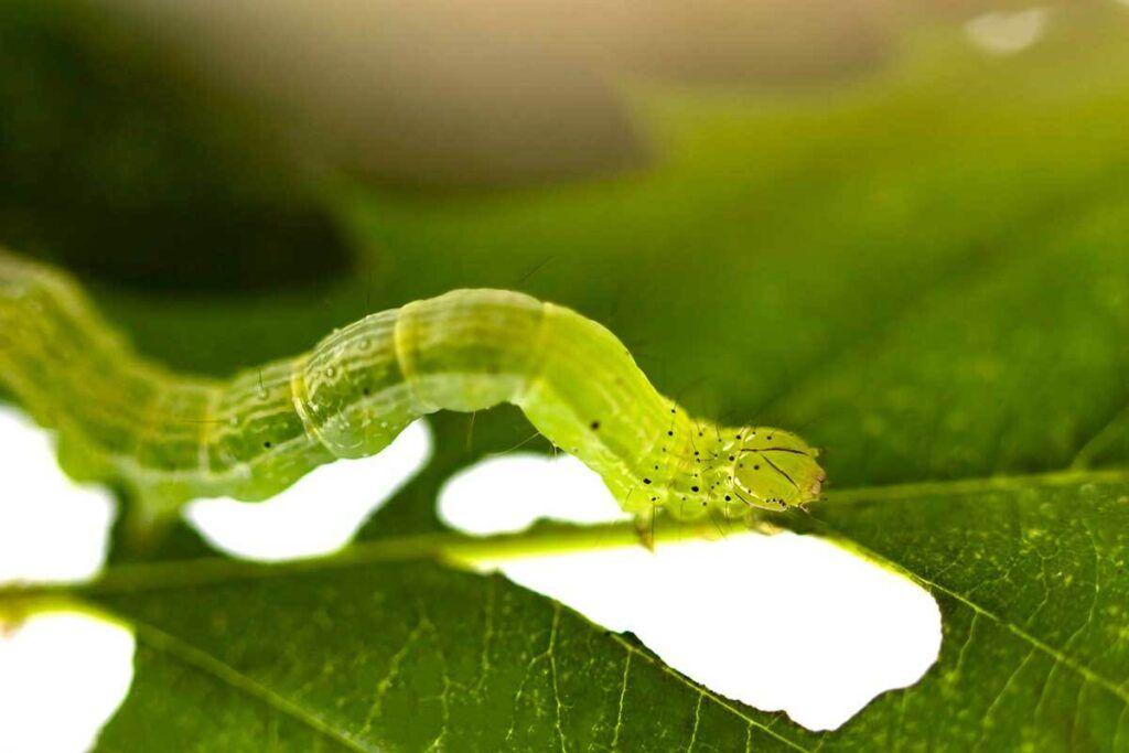 Cannabis-Pest-Caterpillar-1024x683.jpg
