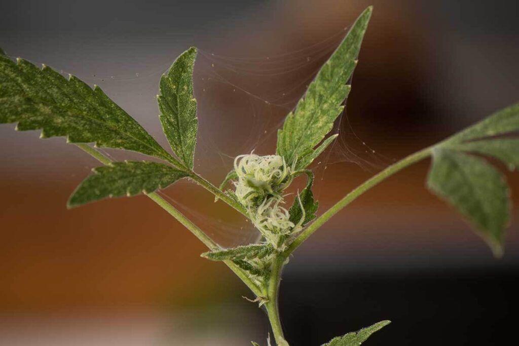 Cannabis-Pest-Spider-Mites-1024x683.jpg