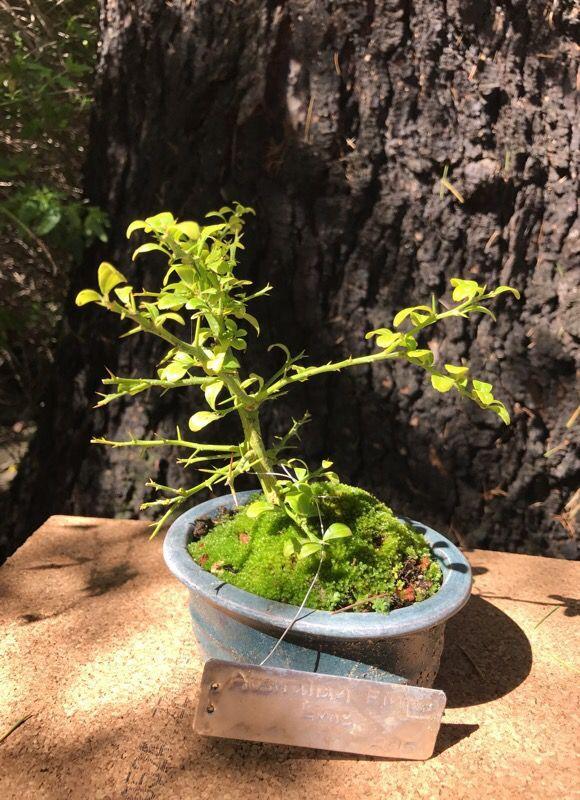 finger-lime-bonsai.jpg