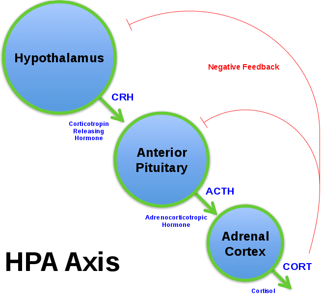 HPA_Axis_Diagram_Brian_M_Sweis_2012.svg.png