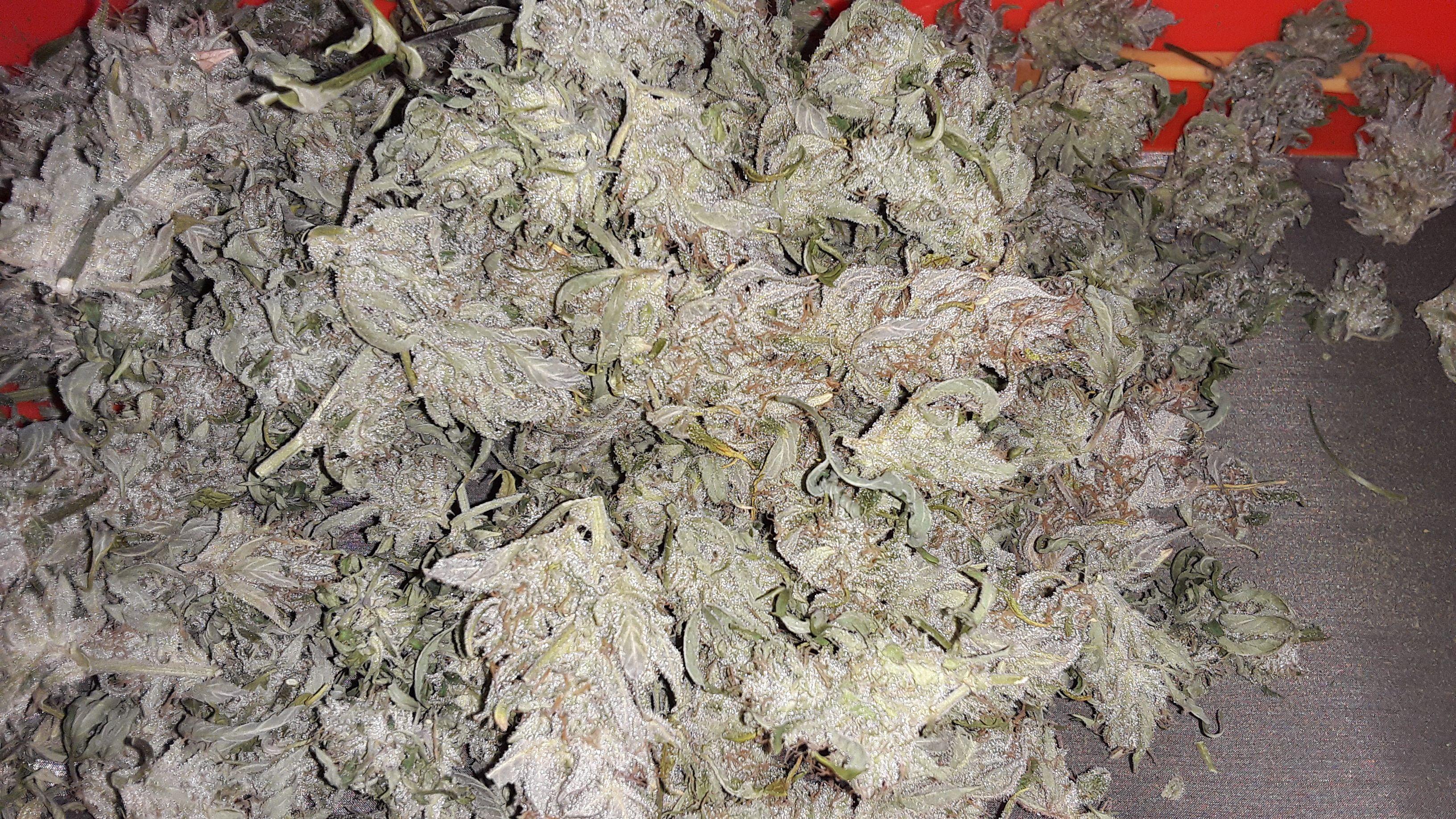 sk1-1st-plant-tops-untrimmed.jpg