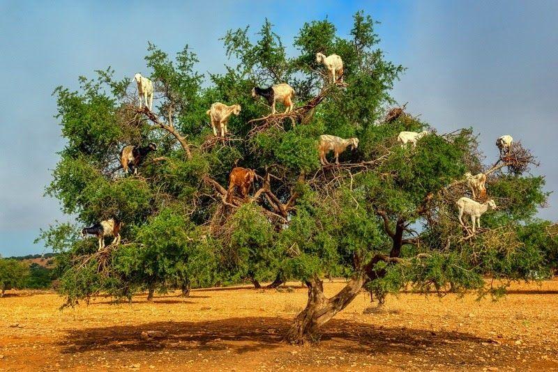 tree-goats.jpg