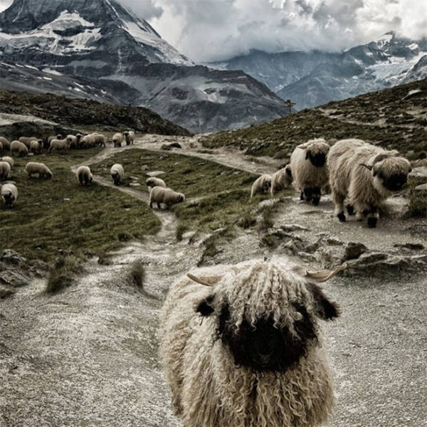 valais_blacknose_sheep_always_look_like_theyre_posing_for_a_heavy_metal_album_cover_640_17.jpg